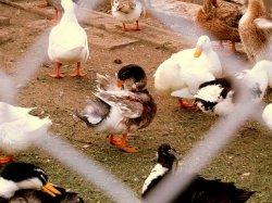 Германия принимает меры по предотвращению птичьего гриппа