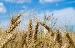Экспортная пошлина на пшеницу с 1 февраля составит 15% таможенной стоимости плюс €7,5