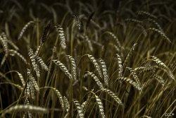 Минсельхоз РФ считает использование зерна на корм для скота приоритетнее экспорта