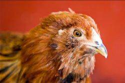 Российские генетики и птицеводы создают «птицу будущего»