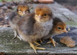 Племенное птицеводство – сегодня и завтра