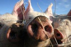 Россия отменила запрет на ввоз свиней из Франции