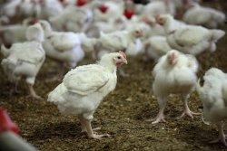 Возраст родительского стада и инкубационные качества яйца