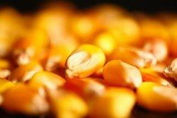 Преимущества побочных продуктов кукурузы мокрого помола для свиней