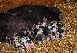Зрелые свиноматки нуждаются в более высоком уровне питательных веществ