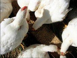 Россия увеличила производство кормов для птицы