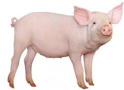 За неделю живые свиньи в России подорожали почти на 10%