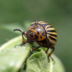 Ученые заставили ГМО-картофель бороться с колорадским жуком