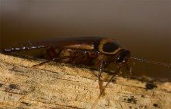 Тараканы - как кормовой ингредиент в Беларуси