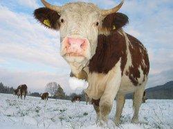 Ученые создали ГМ-коров, более устойчивых к бычьему туберкулезу