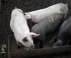 Исследование: свиньи могут регулировать количество серы в организме