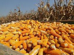 Корм из кукурузных початков подходит в качестве корма для скота