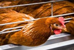 Три миллиона кур-несушек ежегодно уничтожаются: ненужные несушки могут стать продуктом питания