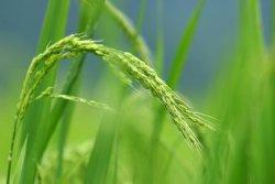 После трех лет полевых испытаний новый сорт риса показал значительный прирост урожайности