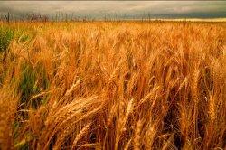 США сократили экспорт пшеницы до минимума