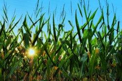 Переход на биотопливо грозит нехваткой еды
