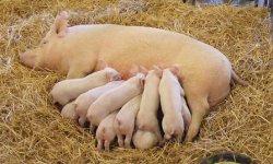 Оптимизация прибыли от свиней начинается с питания свиноматок