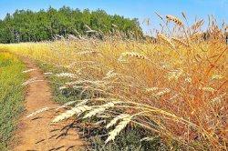 Продавцы зерна в госфонд столкнулись с проблемой его обратного выкупа