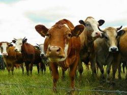 Российские ученые разработали инновационный метод тестирования коров на беременность