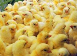 Новая вакцина против болезней птиц от Министерства сельского хозяйства США