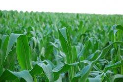 Новая ГМ-кукуруза от Monsanto вызовет возмущение фермеров