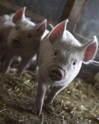 В Китае разработана тройная вакцина для свиней