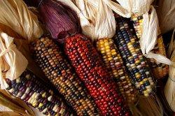 Ученые:ГМ-корма безопасны для животных и конечного потребителя
