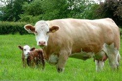 НСА утвердил новые условия страхования сельхозживотных
