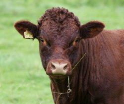Шерсть на морде коровы может быть показателем темперамента