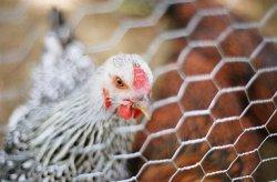 Америке грозит мощнейшая за 30 лет вспышка птичьего гриппа