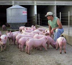 Свиноводы могут быть переносчиками инфекций