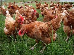 Органический сектор птицы столкнется с резким взлетом цен
