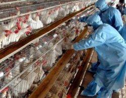 Число зараженных гриппом птиц в США достигло 32 млн