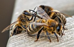 Гибель пчел в США - сигнал о проблемах в аграрной отрасли