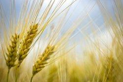 Правительство отменило пошлины на пшеницу