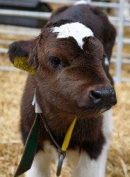 Алтайские ученые создали новое сухое молоко для телят