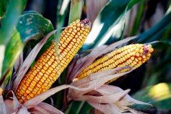 Россия в 2015 году может собрать рекордный урожай кукурузы