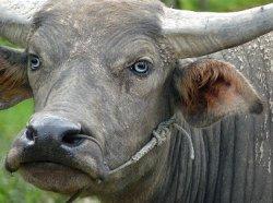 Россельхознадзор запретил поставки мяса буйволов из Индии