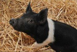 Низкозатратная альтернатива белка для рациона свиней