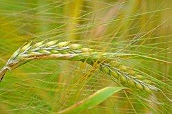 ГМ-пшеница не прошла испытания на поле