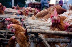 Новый вирус птичьего гриппа обнаружен в Китае