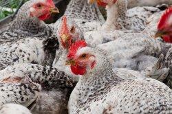 Новый метод может устранить использование антибиотиков в сельскохозяйственном стаде