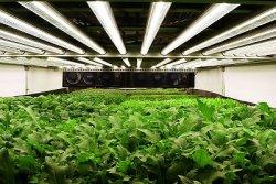 Вертикальные фермы начинают завоевывать сельское хозяйство