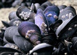 На Кубани выделят 420 га в Черном море для выращивания мидий и устриц