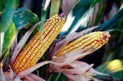Жара подкосила урожай кукурузы в Евросоюзе