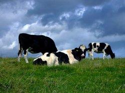 Кормовая добавка значительно снижает выбросы метана молочных коров