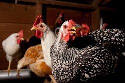 Как передается птичий грипп?