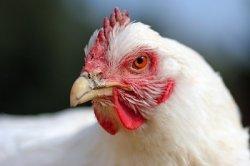 ГМ-куры помогут в борьбе с птичьим гриппом