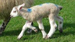 Вакцина от вируса Шмалленберга для крупного рогатого скота и овец