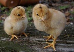 В Европе запретили использовать мясо клонированных животных в продовольственных целях